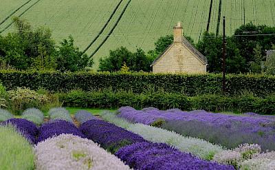 Lavender fields in Snowshill, Gloucesterdshire, England. CC:Saffron blaze