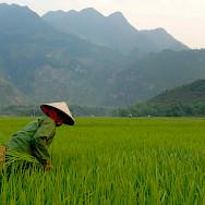 Rice fields in Vietnam. Photo via Flickr:M M