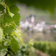 Budding grapes at the vineyard in Aschaffenburg, Germany. Photo via TO