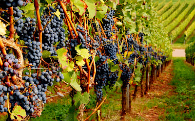 Vines ready for harvest in Nierstein in Rhineland-Palatinate, Germany. Flickr:Ulrich Vismann