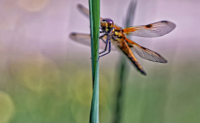 Dragonfly in the Netherlands. ©holland fotograaf