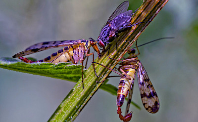 Scorpionfly in the Netherlands. ©holland fotograaf
