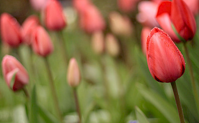 Holland's famous tulips. Photo via Flickr:Waferboard