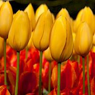 Tulips are Holland's trademark. Photo via Flickr:Hans Splinter