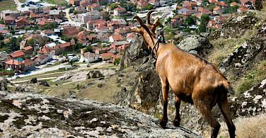 Mountain goat overlooking Bitola, Macedonia. Flickr:Pero Kvrzica