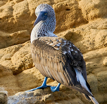 Blue-footed Booby on Galapagos Island. Flickr:Pedro Szekely