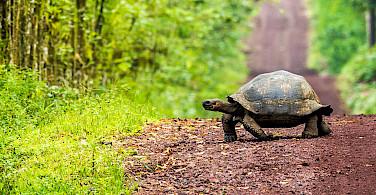 Tortoise on Santa Cruz Island, Galapagos.