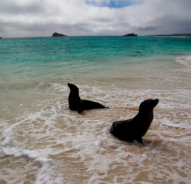 Sea Lions at Gardner Bay on Espanola Island, Galapagos. Flickr:Mark Rowland