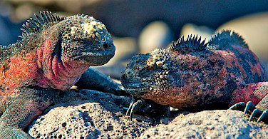 Marine iguanas on the Galapagos. Flickr:Les Williams