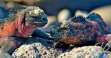 Marine iguanas on the Galapagos. Flickr:Les Williams