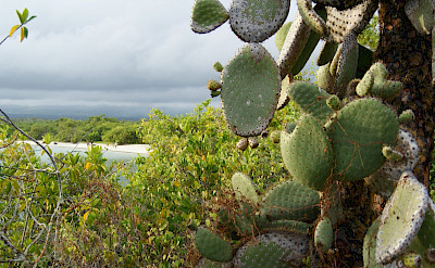 Mangroves and cacti near the beach on the Galapagos. Flickr:Dallas Krentzel