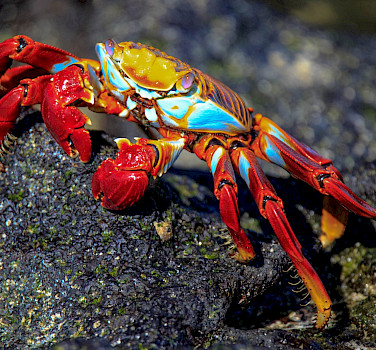 Sally Light Foot Crabs are common in the Galapagos. Flickr:Murray Foubister