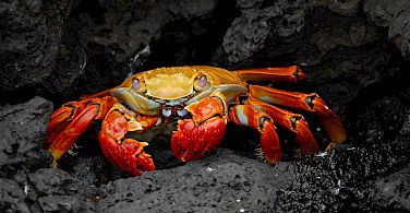 Sally Light Foot Crabs scurry and hide on the Galapagos. Wikimedia Commons:CC0