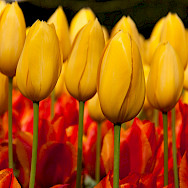 Holland is famous for its tulips. Flickr:Hans Splinter