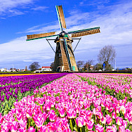 Windmills and tulip fields are Holland's staples. Flickr:Matheus Swanson