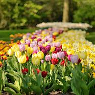 Gorgeous tulips at the Keukenhof, near Amsterdam. CC0