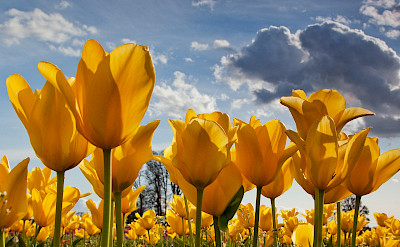 Yellow tulips in the Netherlands (nickname Holland). Flickr:stokesrx