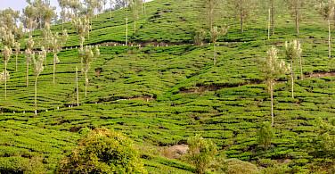 Tea planation in Kerala, India. Flickr:Silver Blu3