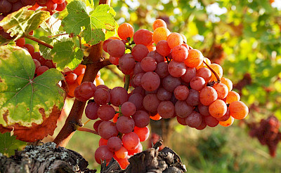 Ripe grapes means autumn is here in Alsace, France. Flickr:Helena