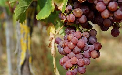 Gewürztraminer, 1 of 7 grape varieties grown in Alsace, France. Flickr:Randi Hausken