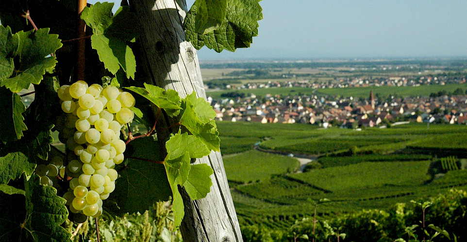 Vineyards dot the landscape of Alsace. Its famous wines are mostly whites such as Riesling. Flickr:Nigab Pressbilder