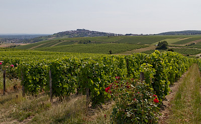 Sancerre Wine vineyards in the Loire Valley, France. Flickr:Barbe Rousse