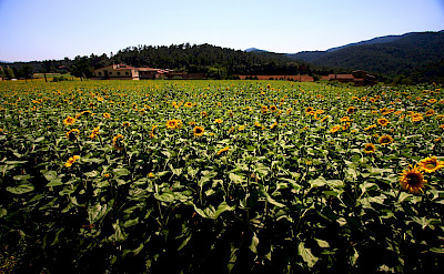 Sunflowers in Madremanya, Spain. Flickr:Jennifer Woodard Maderazo
