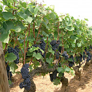 Pinot Noir grapes ready for harvest in Burgundy, France. Wikimedia Commons:Pra