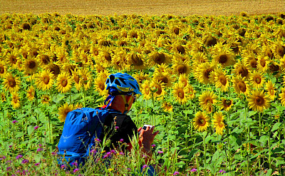 Sunflowers in Burgundy, France.