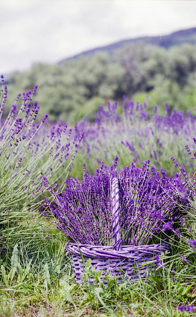 Lavender and its oils harvested in Provence, France. Photo via TO