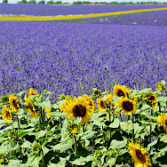 Sunflower and lavender fields are big business in southern France. Photo via TO