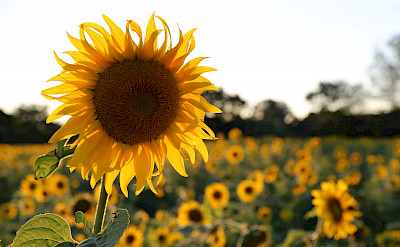 Sunflower fields forever! Southern France is full of them. Photo via TO