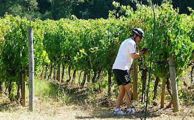 Bike stop for a grape nibble in Tuscany.