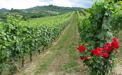 Rolling vineyards throughout Tuscany, Italy.