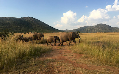 Elephants abound in South Africa! Photo:Gea