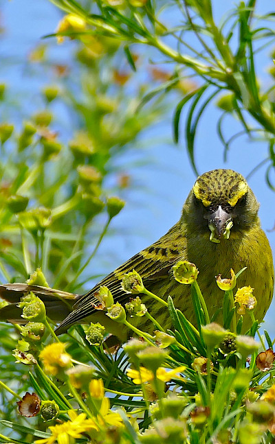 Forest Canary at the amazing Kirstenbosch National Botanical Garden in Cape Town, South Africa. Flickr:Bernard Dupont