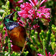 Orange-breasted Sunbird at the Kirstenbosch National Botanical Garden, Cape Town, South Africa. Flickr:Derek Keats