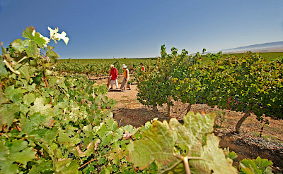 Wine tasting and vineyards on the Garden Route, South Africa. Flickr:South African Tourism
