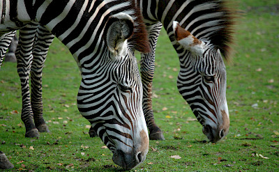 Zebras in South Africa. Flickr:Marieke IJsendoorn-Kuijpers