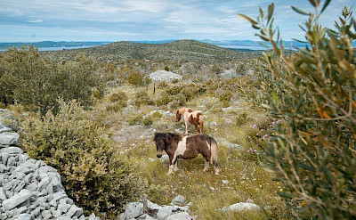 Wild horses on Brac Island in Croatia. Photo via TO.