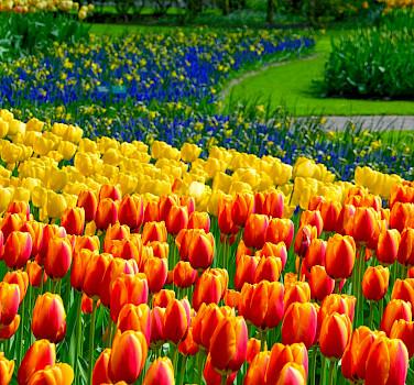 Tulips at the Keukenhof near Lisse, South Holland, the Netherlands. Flickr:Andrianoaurelioaraujo