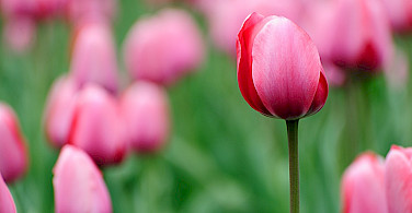 Pink tulips await in the Netherlands. Flickr:kaybee07
