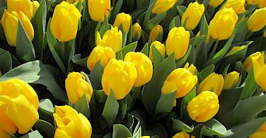 Yellow tulips always brighten a day in the Netherlands. Flickr:Elen Agiglia