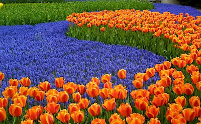 Tulip fields bloom in the Netherlands in Springtime. Flickr:Lin Mei