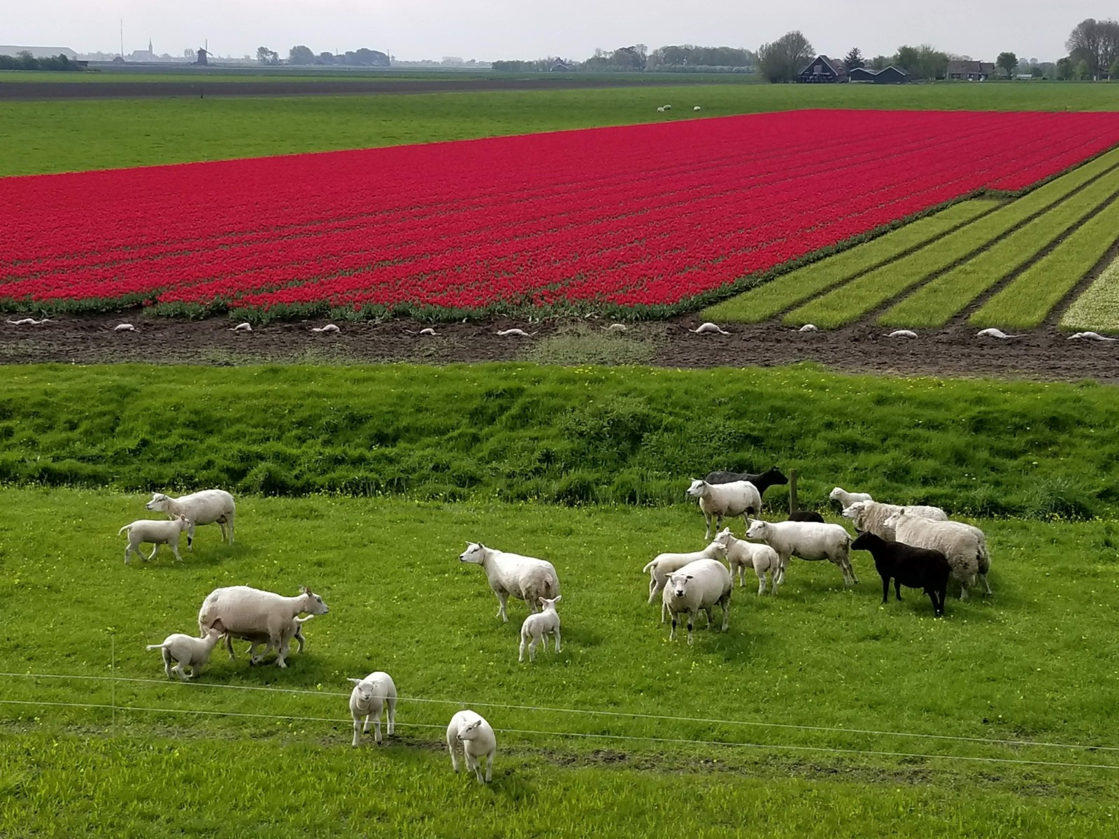 Sheep and tulips in the background