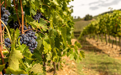 Tignanello grapes in Chianti, Italy. Flickr:papa piper