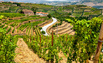 Port wine is locally grown here in the Douro River Valley in Portugal. Flickr:matseye