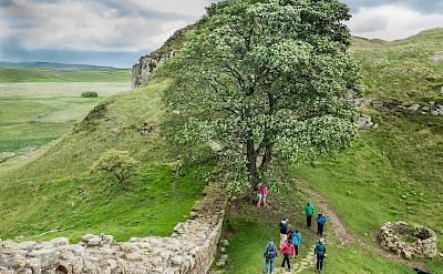 Robin Hood's Tree at Hadrian's Wall in England. Flickr:Mike Locke