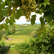 Vineyards and grapes for Prosecco wine in this region of Italy. Flickr:Luca Temporelli