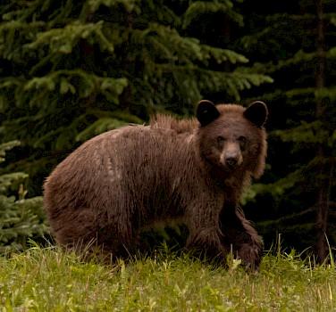 Kananaskis Grizzly. Photo via Flickr: sethgraham.photos